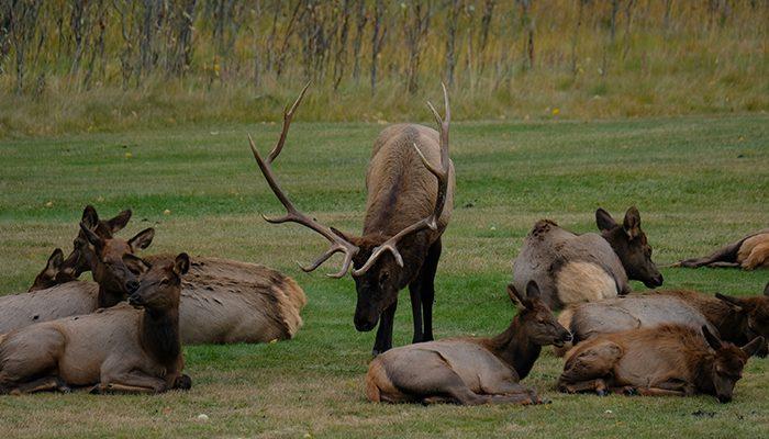 Male elk with big antler in Banff National Park